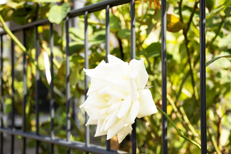 Foto de White roses flowers in garden of house gate background. - Imagen libre de derechos