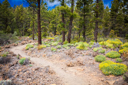 footpath in the mountain forest in Paisaje Lunar route, Tenerife, Spain