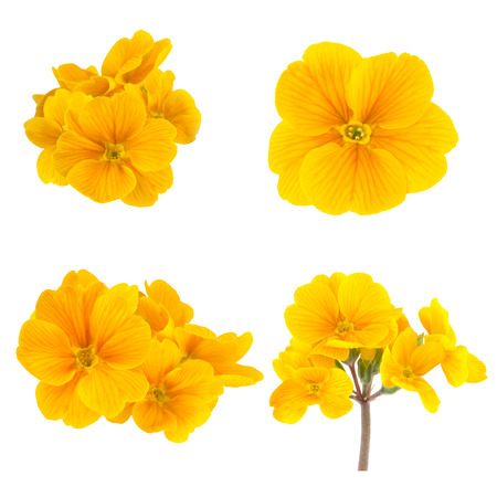 Yellow Spring Flowers Primrose Collectionの写真素材