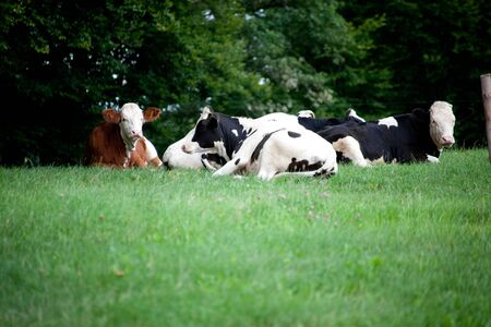 Photo pour Group cows in meadow, cows and calf portrait close up. Sleeping cows in summer - image libre de droit