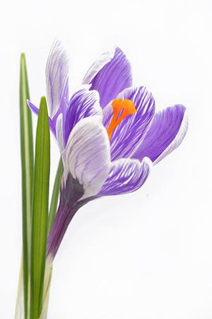 Crocus flower on white background