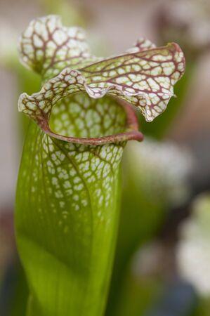 cBeautiful arnivorous plant growing in a tropical garden