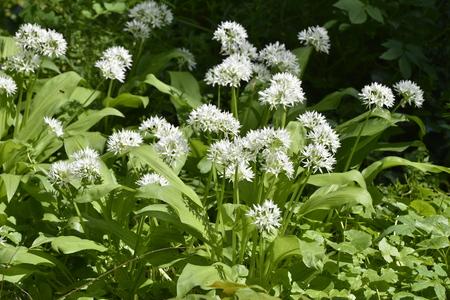 Wild garlic flowering in a garden under the trees