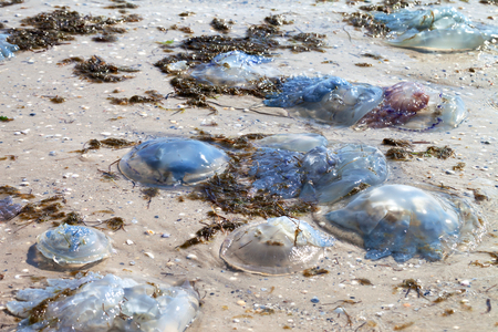 Dead jellyfish (Rhizostoma) washed ashore on wet sand beach at sun summer day
