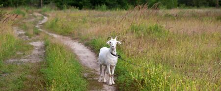 Photo pour Goat on meadow and dirt road in forest at summer day. Panoramic view. - image libre de droit