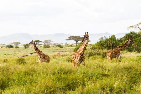 Foto de The giraffe (Giraffa), genus of African even-toed ungulate mammals, the tallest living terrestrial animals and the largest ruminants, part the Big Five game animals in Serengeti, Tanzania - Imagen libre de derechos