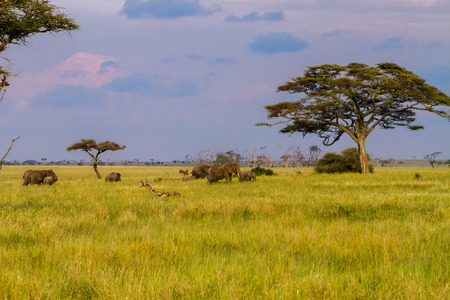 African elephants, of the genus Loxodonta in Serengeti National Park, Tanzania