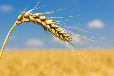 Ear of ripe wheat closeup on a background of wheat fields and sky