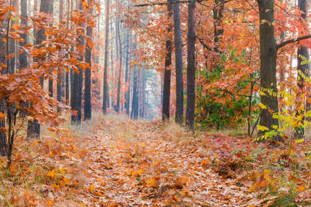 Photo pour Fragment of the deciduous and coniferous forest and path covered with fallen leaves in autumn morning - image libre de droit