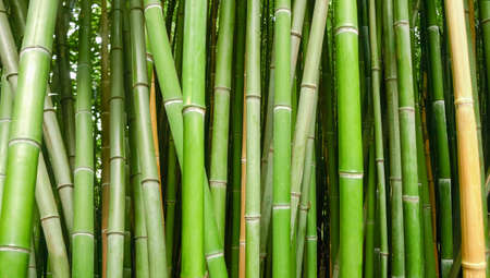 Photo pour Fragment of the stems of bamboo  growing in the bamboo thickets, close-up in selective focus, background  - image libre de droit