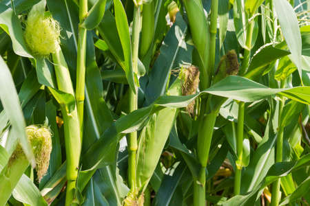 Foto für Corn plants, fragment of the leafy stalks with immature ears with young silk on the field, close-up  - Lizenzfreies Bild