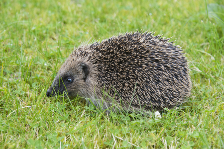 A young hedgehog searching for food around a garden in Englandの写真素材