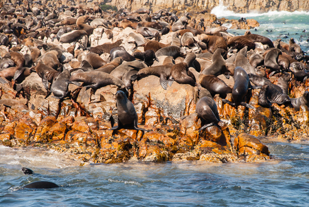 Cape fur seal colony in Mossel Bay south Africa