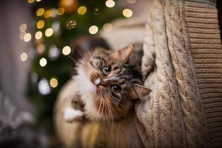 Photo pour Tabby cat plays at the Christmas tree, Christmas holidays - image libre de droit