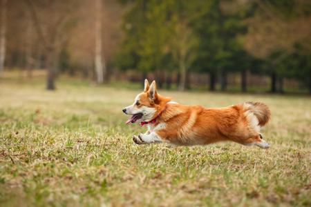 Dog breed Welsh Corgi Pembroke walking in autumn park