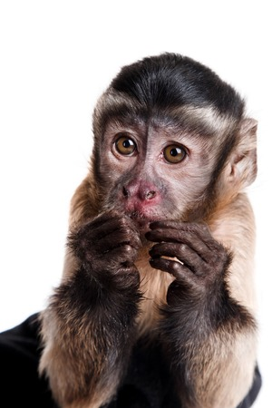 Capuchin monkey on a white background studia: Royalty-free
