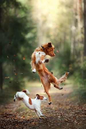 Photo pour Dog Jack Russell Terrier and dog Nova Scotia Duck Tolling Retriever jump over the leaves, autumn mood - image libre de droit