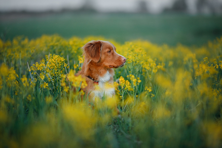 Nova Scotia duck tolling Retriever sitting in field of flowers