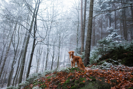 Photo pour dog on nature in the winter in hoarfrost. Late autumn. Pet in the forest outdoors. Breed Nova Scotia Duck Tolling Retriever, Toller - image libre de droit