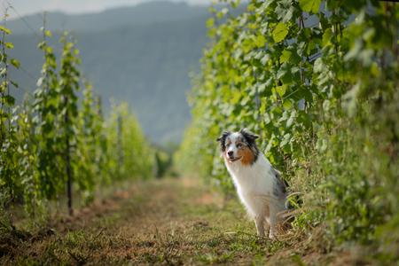 Photo pour Australian Shepherd in nature. Dog in the vineyard. Pet, healthy lifestyle, travel, Europe - image libre de droit