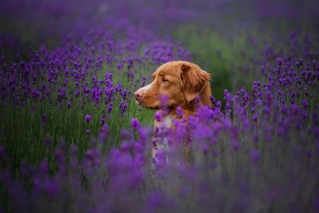 Foto für dog Nova Scotia duck tolling Retriever, toller in lavender. Pet in the summer on the nature in colors - Lizenzfreies Bild