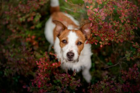 Photo for Cute dog top view. Funny jack russell terrier in the forest, flowers - Royalty Free Image