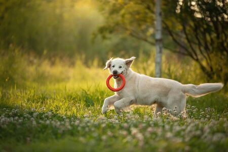 Photo for dog is playing in the park. Golden retriever runs on the grass. Pet for a walk with toy, sunset - Royalty Free Image