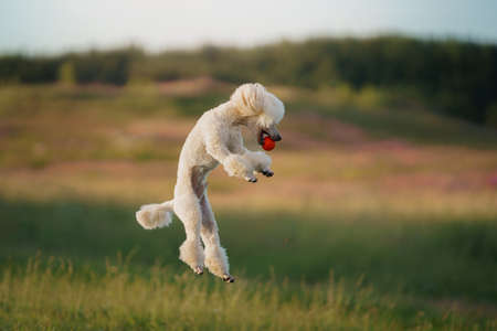 Photo pour The dog runs with a toy. small white poodle playing on grass - image libre de droit