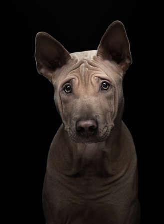 Photo pour nice dog on a black background. portrait Thai ridgeback in studio - image libre de droit