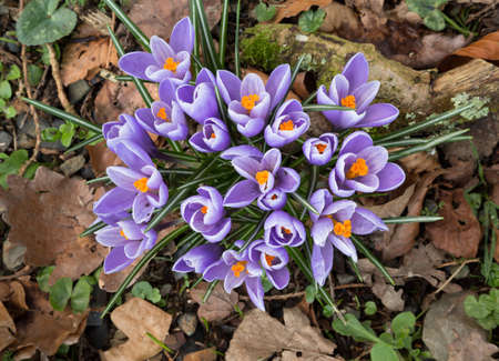 Spring crocus in woodland.