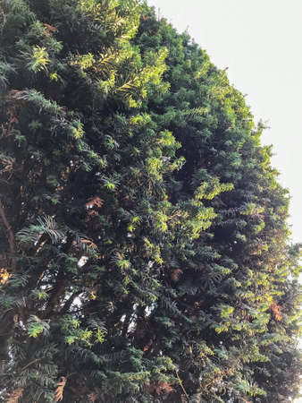 Photo for Large green Bush in the garden - Royalty Free Image