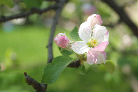 Blossoms are produced in spring simultaneously with the budding of the leaves. The flowers are white with a pink tinge that gradually fades, five petaled.