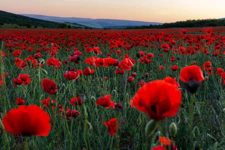 Photo pour Poppy field at sunset. A bright scarlet sunset in a poppy field. Beautiful summer panoramic natural background. - image libre de droit