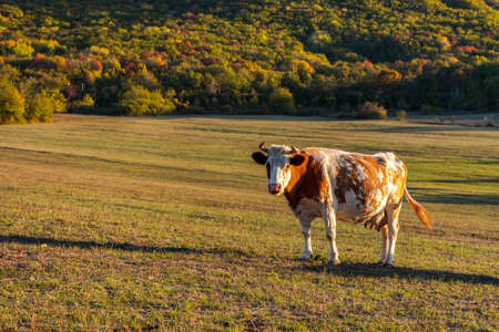 Photo for One red-and-white cow grazes in a meadow against the background of a forest. Autumn colorful landscape. Bright fire color of the cow. Portrait of a pet. The Baydar valley, Crimea - Royalty Free Image