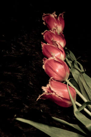 Photo pour Unusual hairy tulips on dark fur exactly the background - image libre de droit