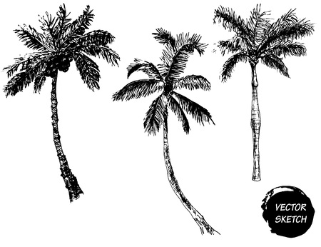 Illustration for Vector Illustration of Palm Tree Sketch for Design, Website, Background, Banner. Hand Drawing Floral on Beach. Travel and Vacation Ink Element Template. Isolated on White - Royalty Free Image