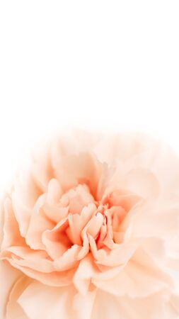 large peony bud or clove on a white background as a blank for advertising text
