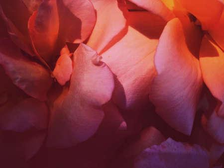 Foto für Garden flowers, beautiful nature and romantic holiday concept - Wonderful blooming rose flower at sunset, floral beauty background - Lizenzfreies Bild