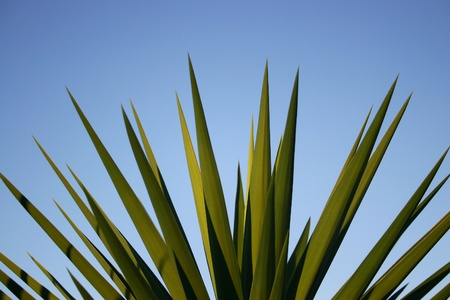 Close up of a yucca palm against blue sky. Space for text