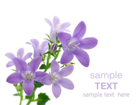campanula flowers isolated on white, with room for text