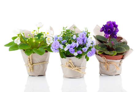 blue Campanula terry, blue and white Saintpaulias flowers in paper packaging, isolated on white background