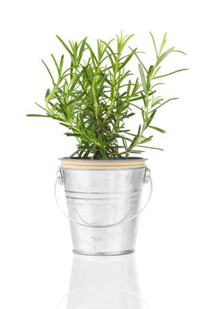 rosemary herb plant growing in a distressed pewter pot, isolated over white background.