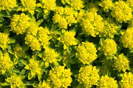 Background of Euphorbia polychroma