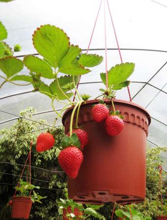 Strawberry farm