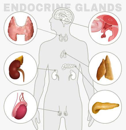 Illustration pour Endocrine Glands Image - image libre de droit