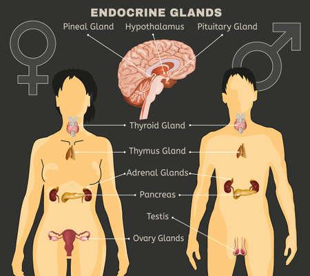 Illustration pour Female and Male endocrine system comparative design illustration. - image libre de droit