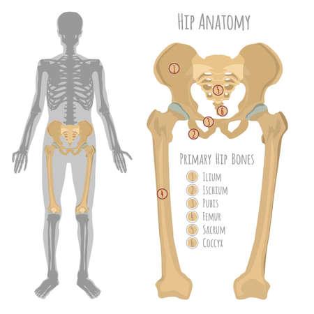 Male hip bone illustration.