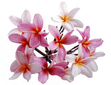 Photo for Frangipani, Plumeria flower isolated on white background - Royalty Free Image
