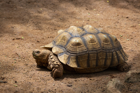 Asian giant and Galapagos tortoise live in the ground,Slow life,Beautiful Tortoise,Sulcata,African