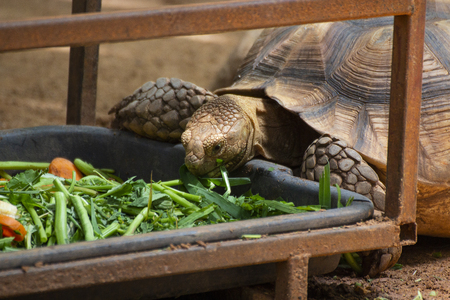 Close up Asian giant and Sulcata tortoise Grab the grass and fruit in the zoo,Slow life,thailand,Sulcata,African